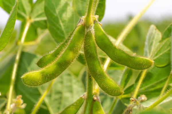 Mejores verduras frutas para ganar masa muscular soja