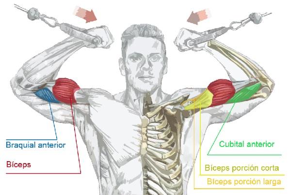 biceps polea alta