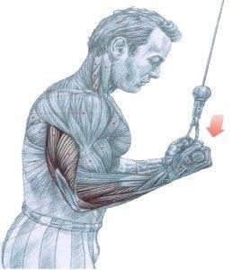 http://rutinasentrenamiento.com/wp-content/uploads/extensiones_triceps_polea_alta_agarre_invertido_supinacion-259x300.jpg