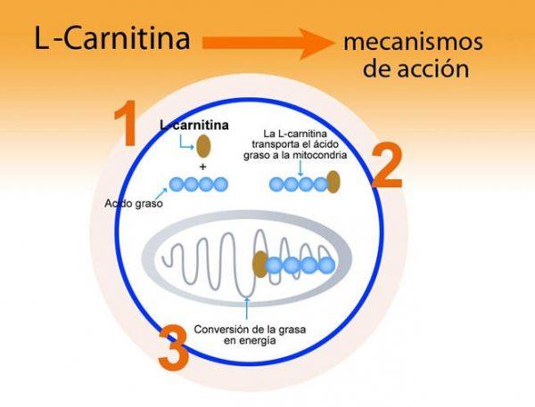 l-carnitina-del-mercadona-para-adelgazar-ampollas-funcion