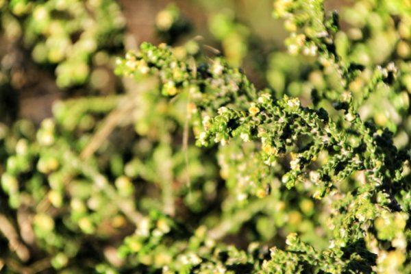 Mejores plantas domesticas para anadir dieta amaranto salvaje
