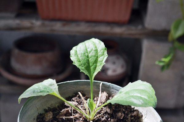 Mejores plantas domesticas para anadir dieta llanten