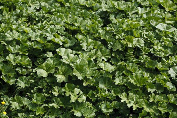 Mejores plantas domesticas para anadir dieta malva
