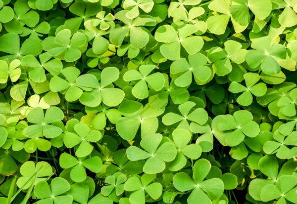 Mejores plantas domesticas para anadir dieta trebol