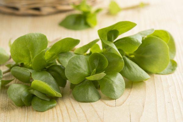 Mejores plantas domesticas para anadir dieta verdolaga