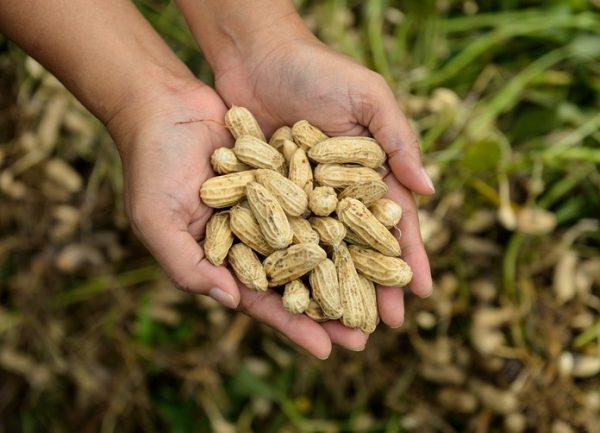 Propiedades y beneficios del cacahuete fuente calorica de alimentacion