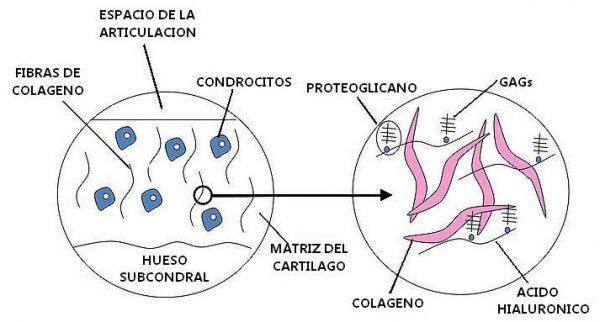 Que es el colageno tejidos conectivos